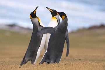 Drie Koningspinguins (Aptenodytes patagonicus) druk in discussie aan de kust, Falklandeilanden van Nature in Stock