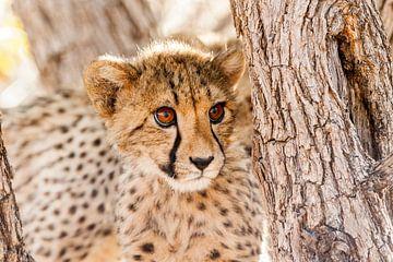 Jong jachtluipaard in boom in Namibië van Simone Janssen