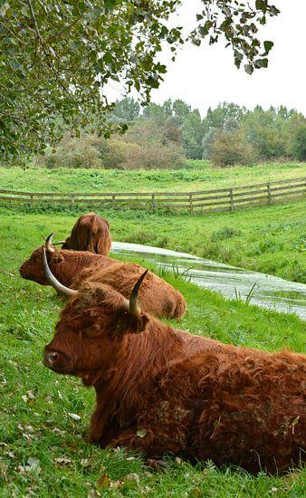 Portret van een bruine schotse hooglander in het gras