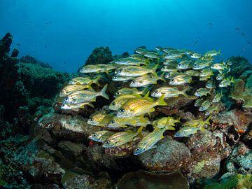 Schulschnapper im Karibischen Meer von Curacao von René Weterings