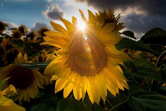 Zonnebloem met tegenlicht. van Jaco Verheul