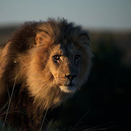 Black-maned Kgalagadi lion!