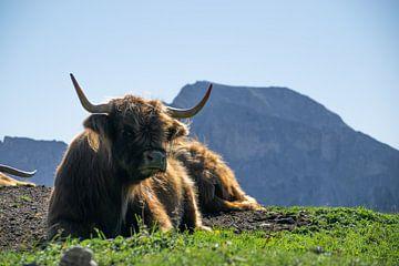 Schottische Highlander in den Dolomiten von Michael Jansen