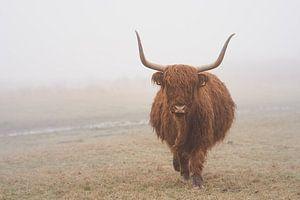 Schotse hooglander in de wei in Wassenaar