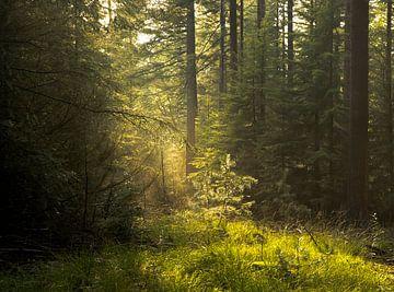 Lichtfall im Wald von Pauline Paul