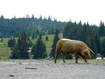 Wild zwijn op de weg von Wilma Rigo