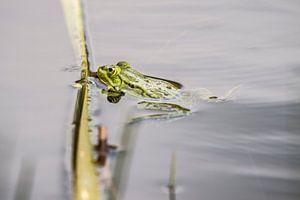 Groene kikker van