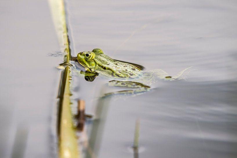 Groene kikker van jan van de ven