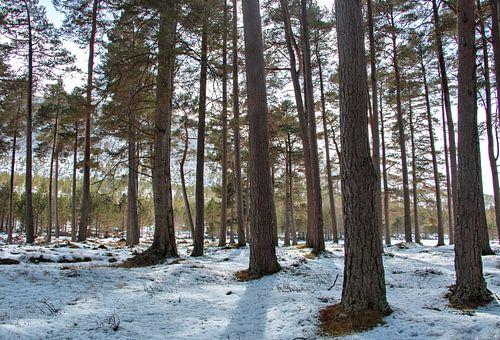 Winterbos, sneeuw tussen de bomen, boslandschap van