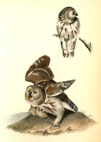Uil, Little or Acadian Owl. (Common Mouse.), Audubon, John James, 1785-1851 van Liszt Collection