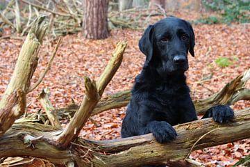 Zwarte labrador hond in een bos poserend
