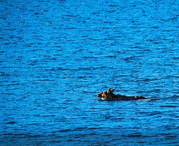 Elch durchquert schwimmend einen Fjord von Kai Müller