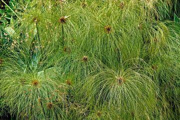 Cyperus papyrus - Papyrusriet - Egypte van Dieter Meyer