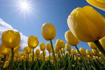 gele tulpen in de zon van Nicolette Schuur