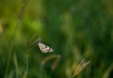 Schmetterling auf grünem Hintergrund von Sanne Dost