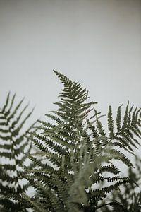 Farne vor einer weißen Wand | Minimalistische Fotografie | Amersfoort, Niederlande