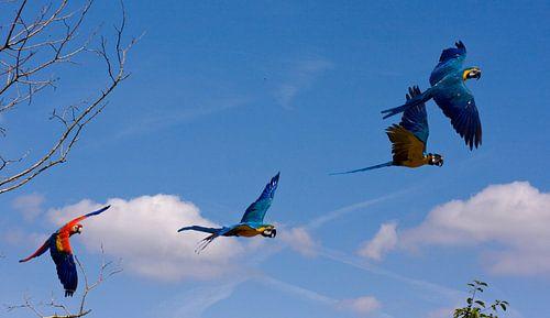 Twee koppels papegaaien in volle vlucht