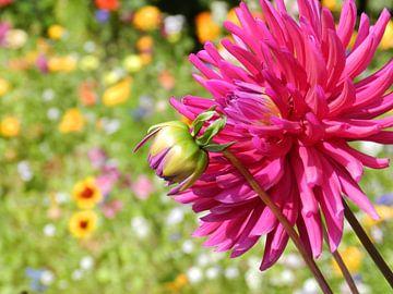 Dahlia bloem van Jellie van Althuis
