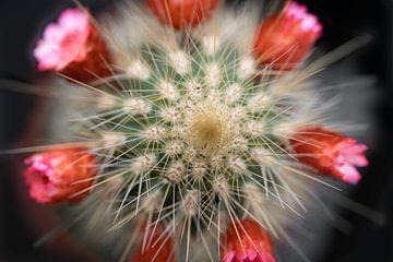 Mini-Kaktus mit roten Blüten von Henk Vrieselaar