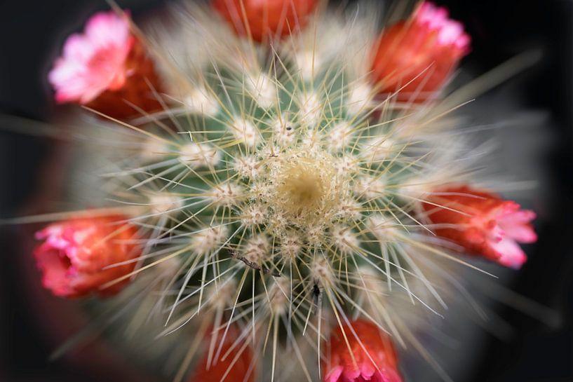 Mini cactus à fleurs rouges sur Henk Vrieselaar