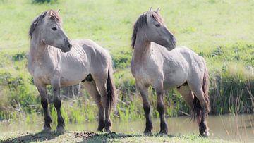 2 Konikpaarden kijken naar rechts van Fotografie Jeronimo