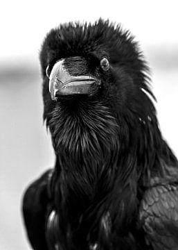 Zwarte Raaf van MirjamCornelissen - Fotografie