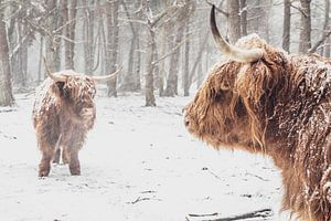 Twee Schotse Highlander koeien in de sneeuw in het bos
