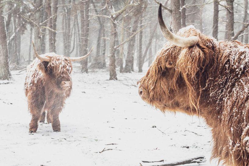 Twee Schotse Highlander koeien in de sneeuw in het bos van Sjoerd van der Wal