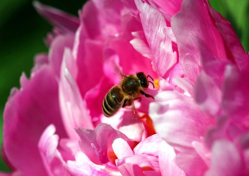Pfingstrose mit Biene