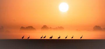 Kraniche zum Sonnenaufgang von Tanja Riedel