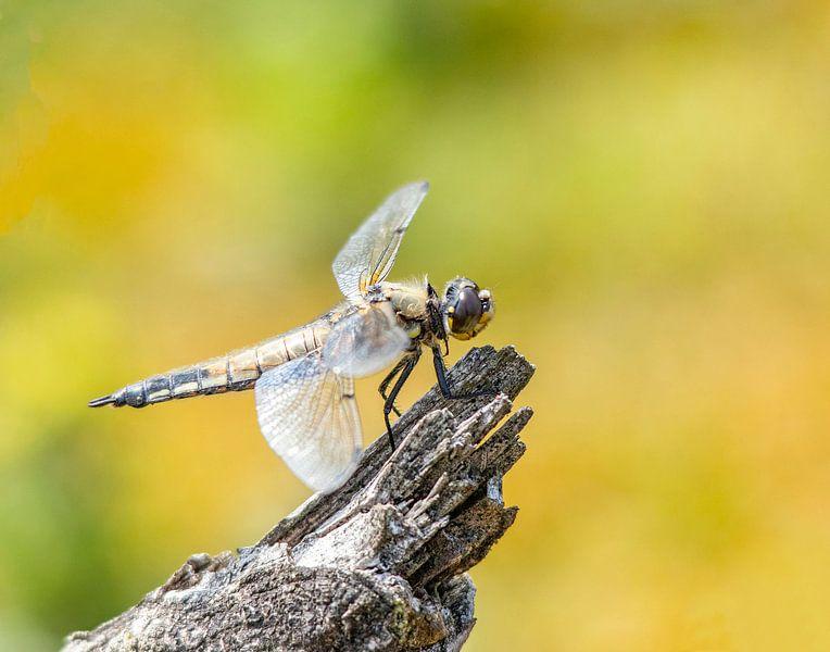 Libelle ruhend auf einem Zweig von Evelien van der Horst