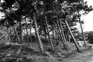 Naaldbomen in duingebied Meijendel van MICHEL WETTSTEIN