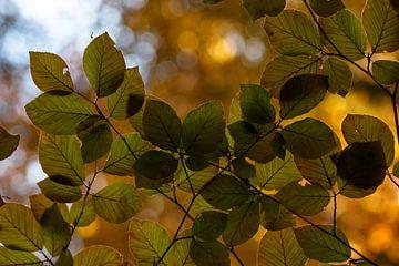 Junge Blätter der Buche von Antoine Deleij