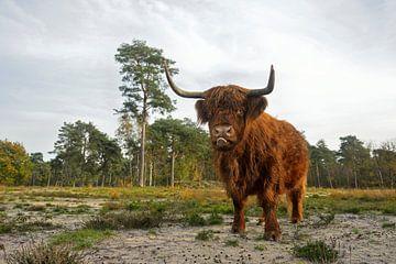 Landschaftspflege... Schottisches Hochlandrind *Weiderind* sur wunderbare Erde