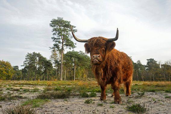Highland Cattle *Bos primigenius taurus*