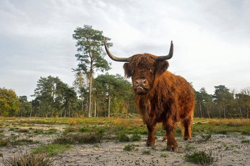 Highland Cattle *Bos primigenius taurus* van wunderbare Erde