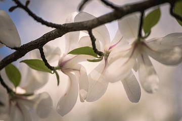 Zweig der Magnolie von tim eshuis