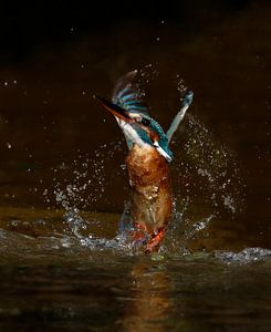 Ijsvogel duikt op van