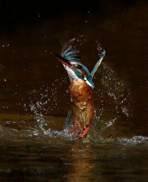 Ijsvogel duikt op sur Gejo Wassink