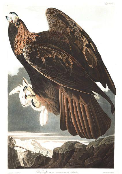 Steenarend van Birds of America