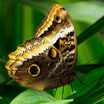 Gele Uil Vlinder von Martin Helmich