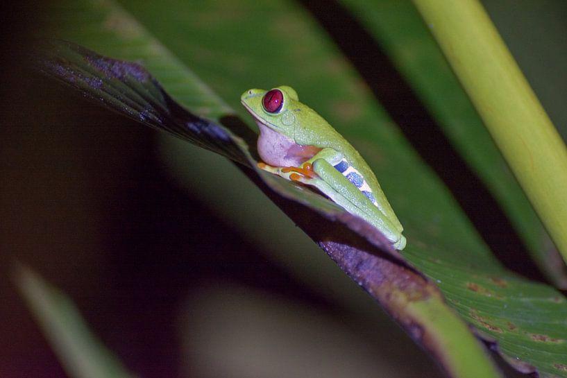Klassieke Costa Rica kikker van Kevin Pluk