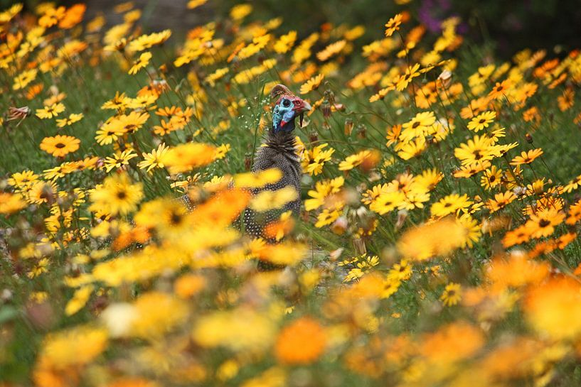 southafrica ... flowers, flowers and a guineafowl von Meleah Fotografie