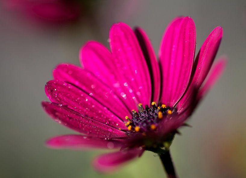 Roze bloem van Thijs Schouten