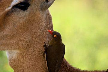 Oxpecker on impala van Patries Photo
