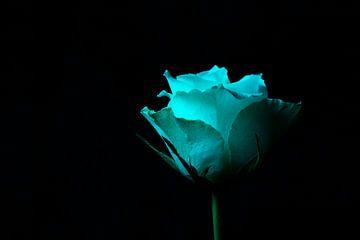 witte roos op zwart spotlight van Annet Niewold
