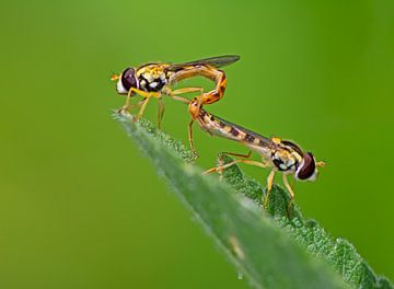 Schwebfliegen Pärchen bei der Fortpflanzung von ManfredFotos