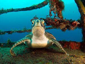 schildpad op wrak van