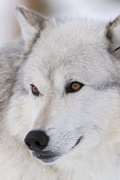 Gray Wolf *Canis lupus*, headshot, close-up van wunderbare Erde