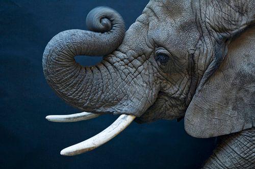 Female African elephant